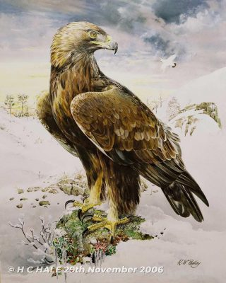 Golden eagle - Watercolour/Gouache with Conte painting by artist Kenneth Padley