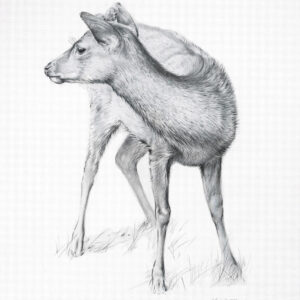 Fallow Deer - Pencil drawing by Kenneth Padley