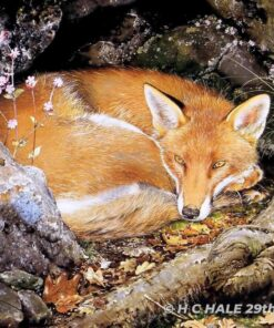 Fox with Campion - Watercolour/Gouache with Conte painting by artist Kenneth Padley