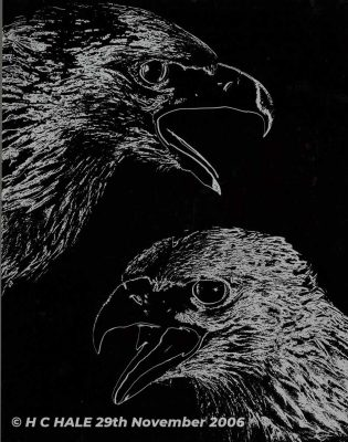 Golden Eagle heads on black background