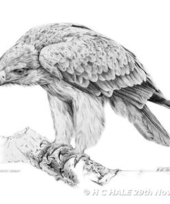 Tawny Eagle - Pencil Drawing by Kenneth Padley