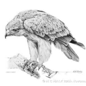 Tawny Eagle - Pencil Drawing by Kenneth Padley