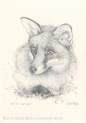 Fox head pencil drawing by Kenneth Padley