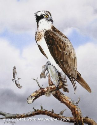 Osprey with fish - Watercolour/Gouache with Conte painting by Kenneth Padley