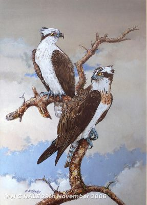Ospreys - Watercolour/Gouache with Conte painting by Kenneth Padley