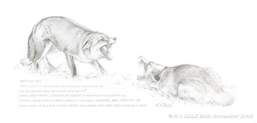 Dogfox with vixen - Pencil study by Kenneth Padley