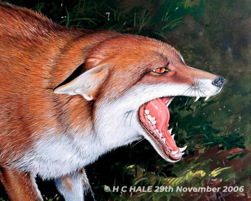 Fox with mouth agape - Watercolour/Gouache with Conte painting by Kenneth Padley