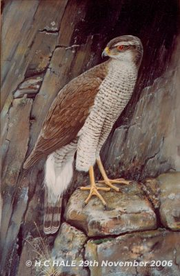 Goshawk on Rocks - Watercolour/Gouache with Conte painting by Kenneth Padley