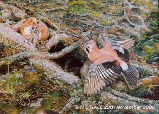 Jay with Weasel - Watercolour/Gouache with Conte painting by Kenneth Padley
