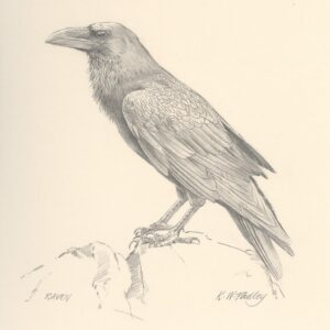 Raven - Pencil study by Kenneth Padley