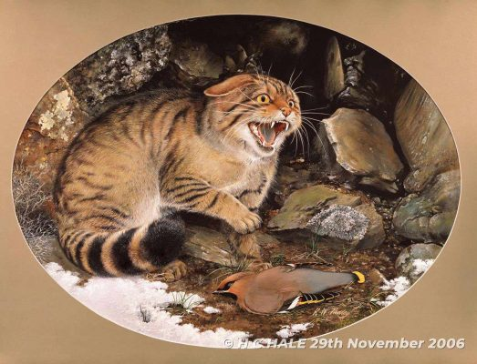 Scottish Wildcat - Watercolour/Gouache with Conte painting by Kenneth Padley