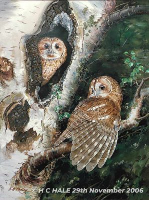 Tawny Owls - Watercolour/Gouache with Conte painting by Kenneth Padley