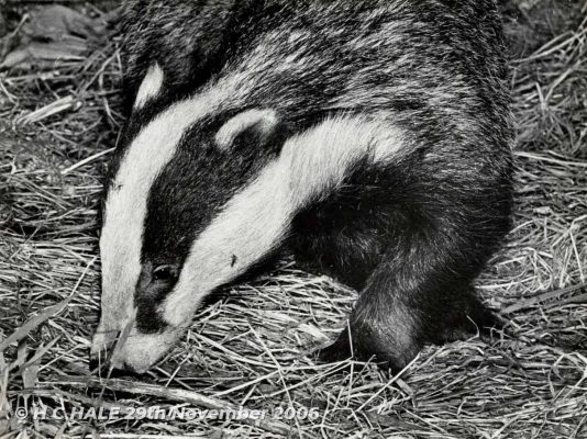 Badger head facing left with front paw -Black and white photograph by Kenneth Padley