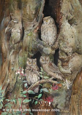 Eurasian scops owls - Watercolour/Gouache with Conte painting by Kenneth Padley