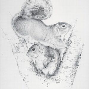 Pencil study of grey squirrel by Kenneth Padley