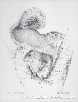 Pencil study of grey squirrel by Kenneth Padley