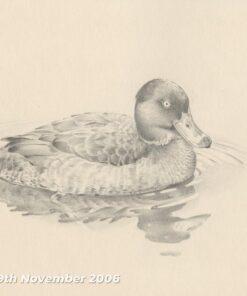 Mallard - Pencil drawing by Kenneth Padley