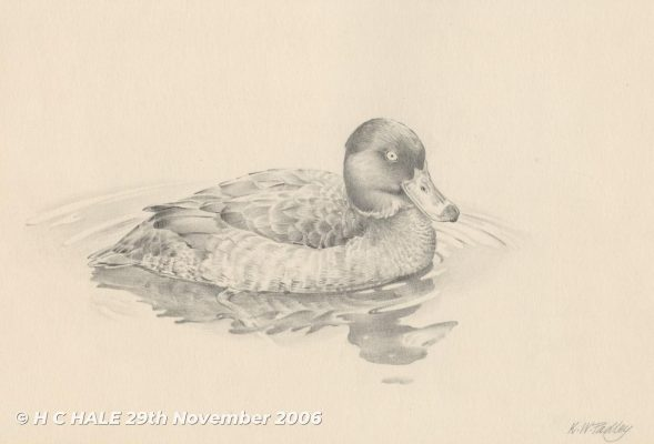 Mallard - Pencil drawing by Kenneth Padley