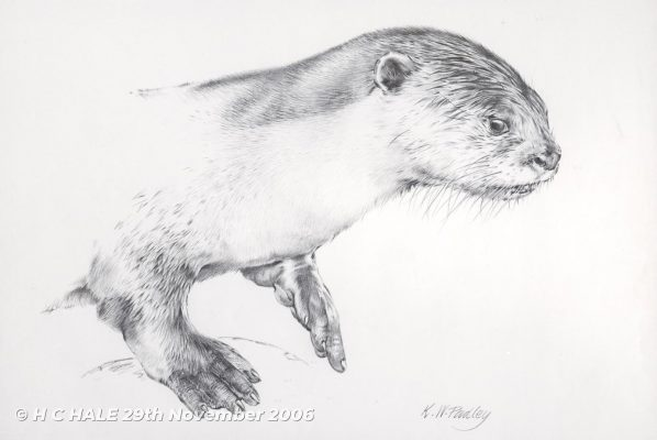 Otter - Pencil drawing by Kenneth Padley