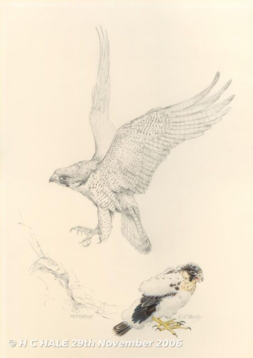 Peregrine adult with chick - Pencil drawing by Kenneth Padley