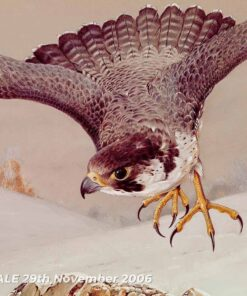Peregrine in flight with ptarmigans Close-up-of-head - Watercolour/Gouache with Conte painting by Kenneth Padley