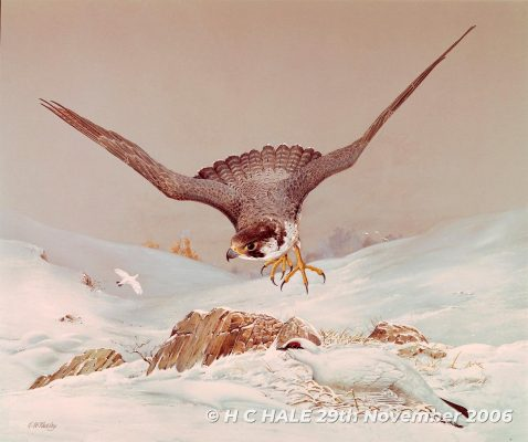 Peregrine in flight with ptarmigans - Watercolour/Gouache with Conte painting by Kenneth Padley