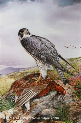 Peregrine with grouse. Close up - Watercolour/Gouache with Conte painting by Kenneth Padley