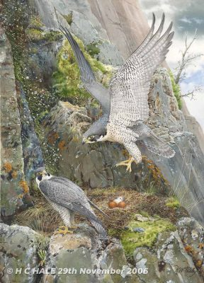 Peregrine with nest and chick - Watercolour/Gouache with Conte painting by Kenneth Padley