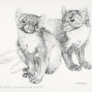 Pencil study of pine martens by Kenneth Padley