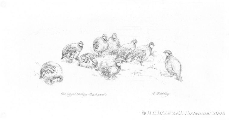 Red legged partridges - Pencil-study by Kenneth Padley