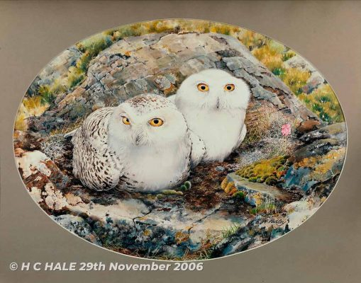 Snowy Owls - Watercolour/Gouache with Conte painting by Kenneth Padley