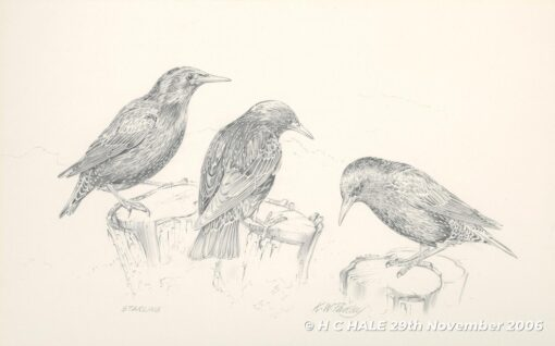 Pencil study of starlings by Kenneth Padley