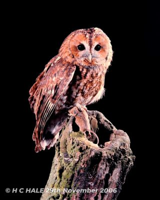 Tawny Owl on Stump