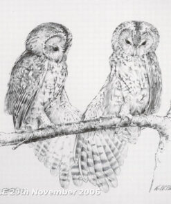 Tawny Owl Stretching - Pencil Study