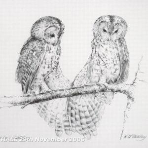 Tawny Owl Stretching - Pencil Study