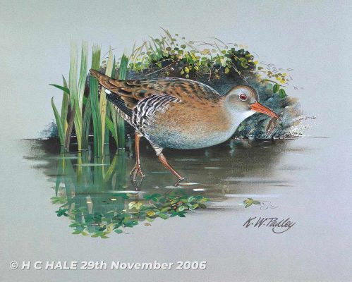 Water Rail - Watercolour/Gouache with Conte painting by Kenneth Padley