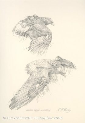 Pencil drawing of a golden eagle by Kenneth Padley